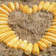 Ears of corn in shape of a heart. Photo by acongar, Thinkstock.