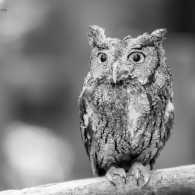 Archimedies, a gray screech owl. Photo by Judy Royal Glenn.