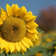 A sunflower connected to its source. Photo by Judy Royal Glenn.