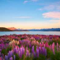 Purple wildflowers by a mountain lake