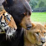 Baloo, Leo and Shere Khan
