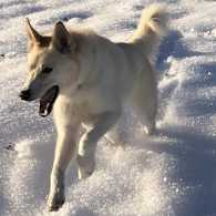 Nanook the dog in the snow.