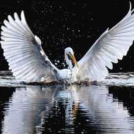 An angelic egret on the water spread its wings to the fullest