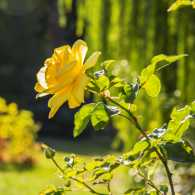 A yellow rose with prominent thorns blooming under the sunlight.