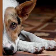 A grieving dog peeks out from behind a door