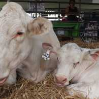 Kelly's photograph of a mother cow and her newborn calf
