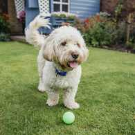 A fluffy cockapoo playing with a tennis ball on the grass.