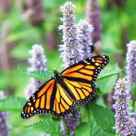 A female Monarch Butterfly is resting on a lavender Anise Hyssop blossom.