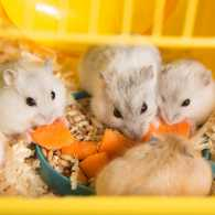 Hamsters in a cage gathered around a plate of carrots