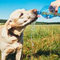 A thirsty dog drinks from his human's water bottle on a summer day