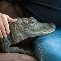 Wally the alligator and his caretaker.