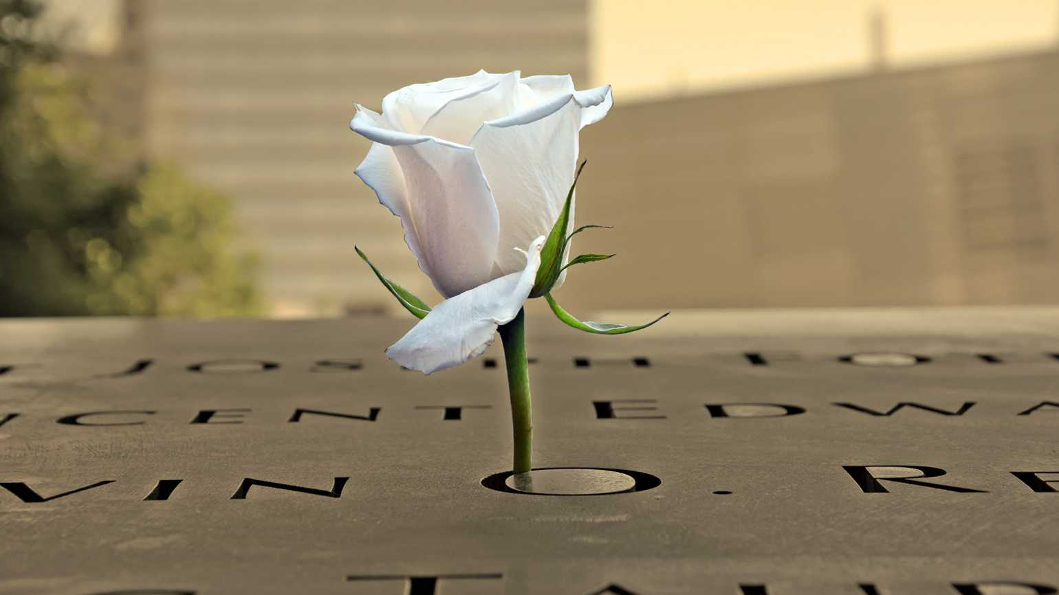 A white memorial rose on the 9/11 memorial in NYC.
