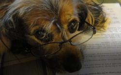 Peggy's spaniel Kelly in her reading glasses.