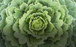 A flowering cabbage. (Thinkstock)