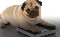 Pudgy pug. Photo: Thinkstock.