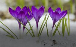 Crocuses blooming. Thinkstock.