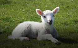 Lamb in a meadow. Thinkstock.