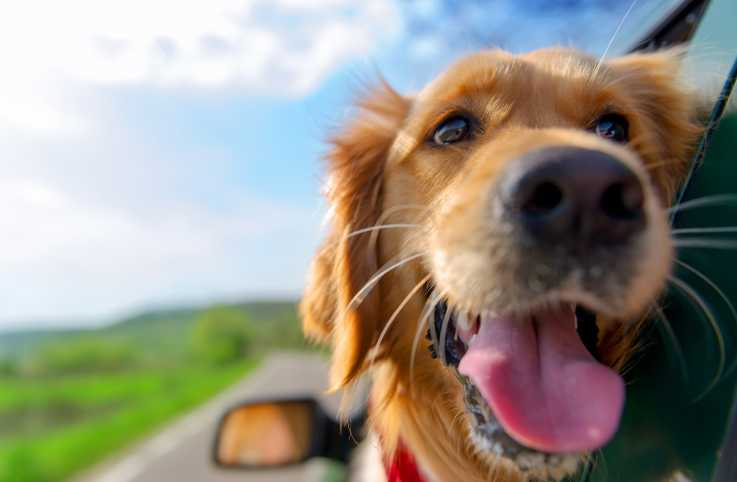 A golden retriever taking taking in the fresh air out of a car window.