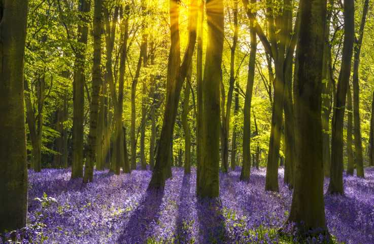 Sunshine streams through beech trees in bluebell woods of Oxfordshire.