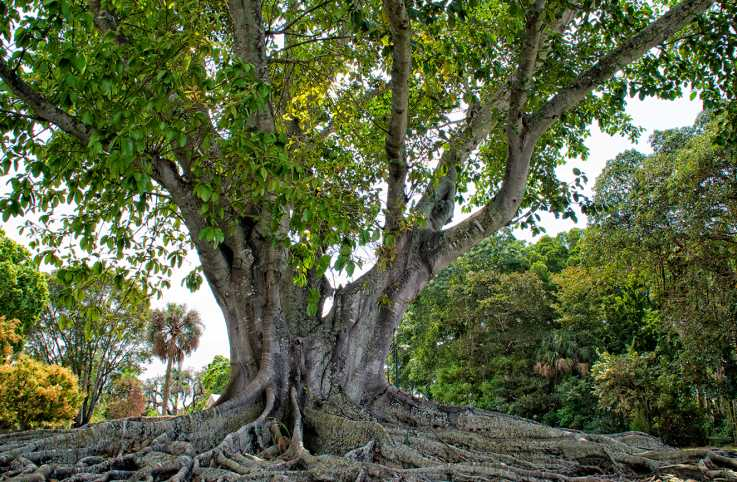 Moreton Bay Fig Tree in golden sunlight