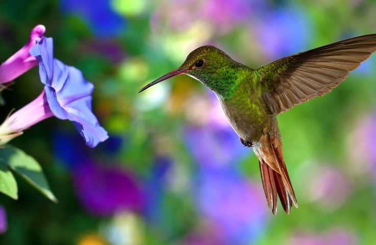 A hummingbird in flight approaches a flower