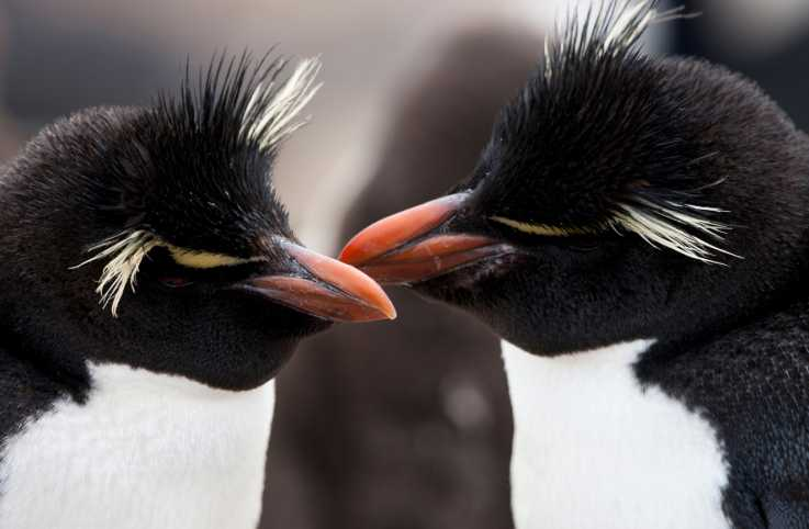 A pair of rockhopper penguins.