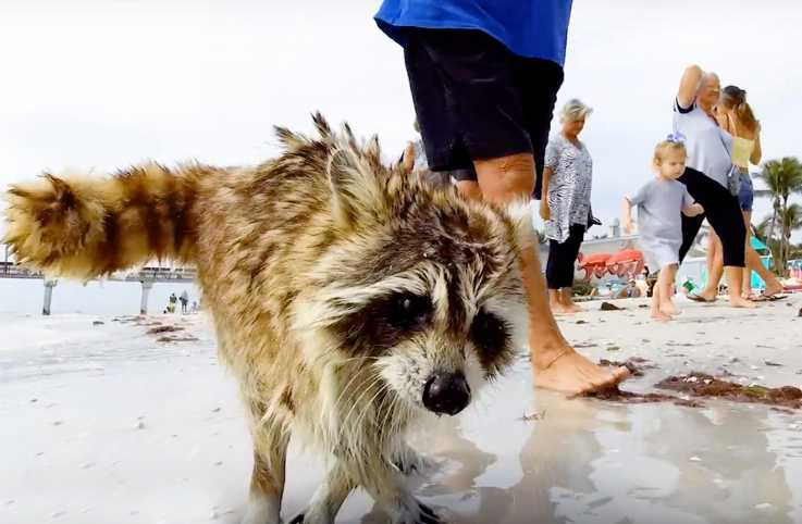 Trouper the raccoon
