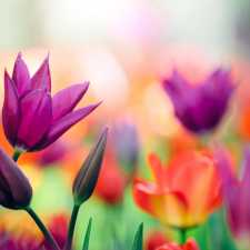 A garden full of colorful tulips blooming.