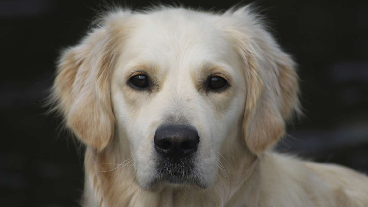 Portrait of a golden retriever. Dogs--what a gift from God!