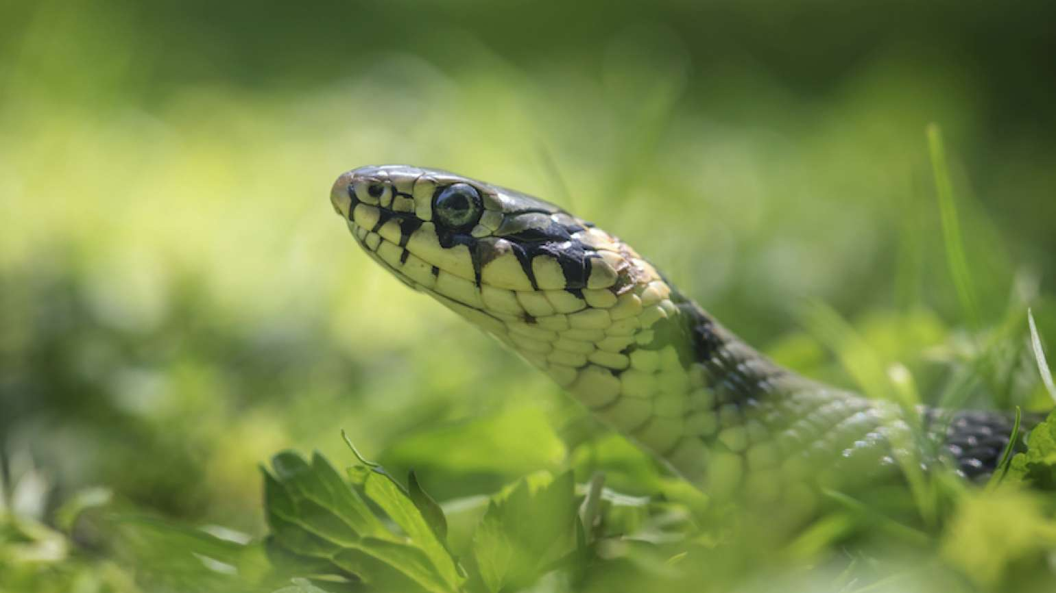 Snake in the grass. Thinkstock.