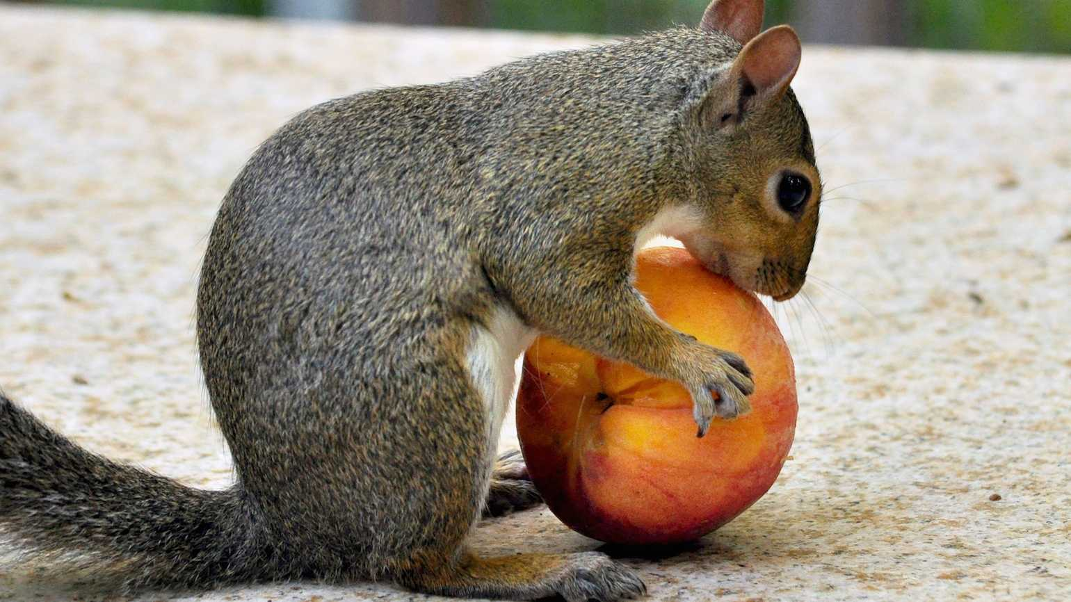 Sharing a peach with a squirrel