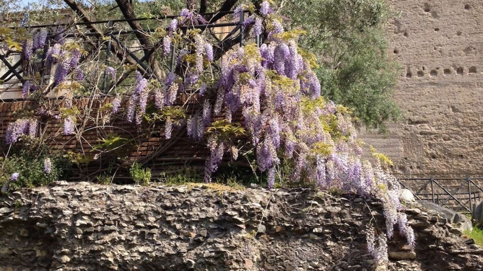 Wisteria blooming among Rome's ruins. Photo courtesy Rick Hamlin.