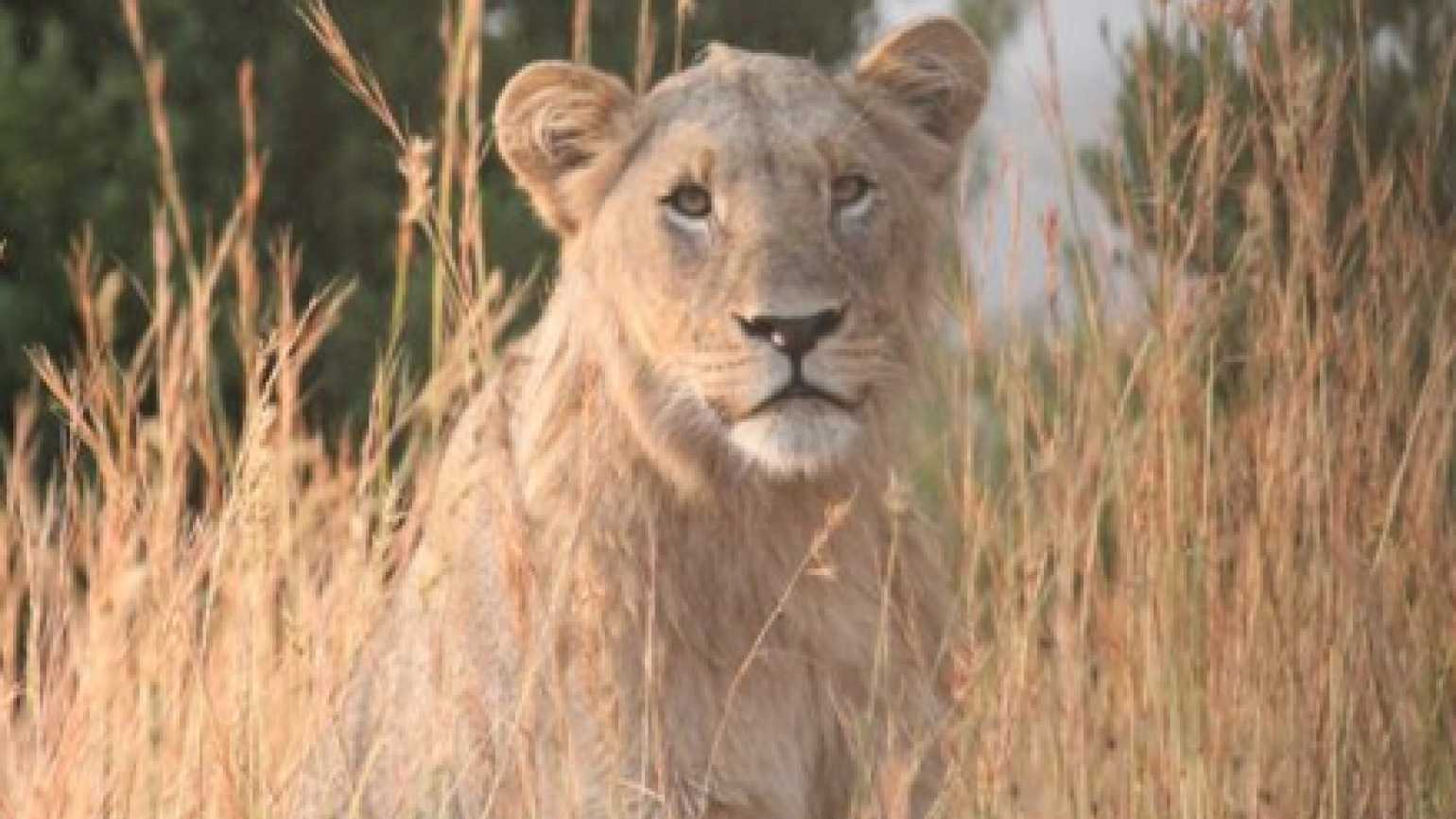 A young lion, photographed on safari in South Africa