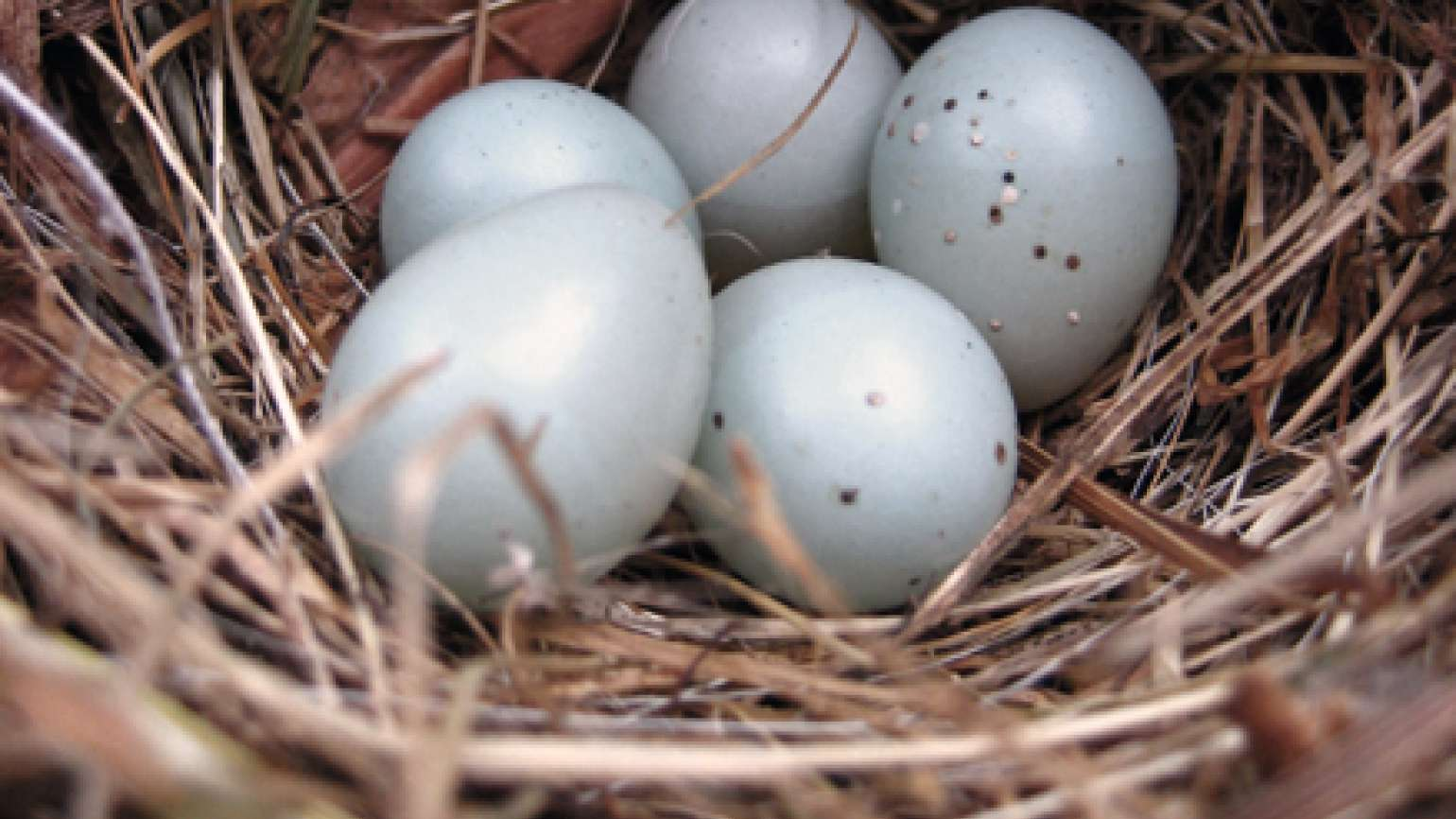 A bird's nest with five gray eggs