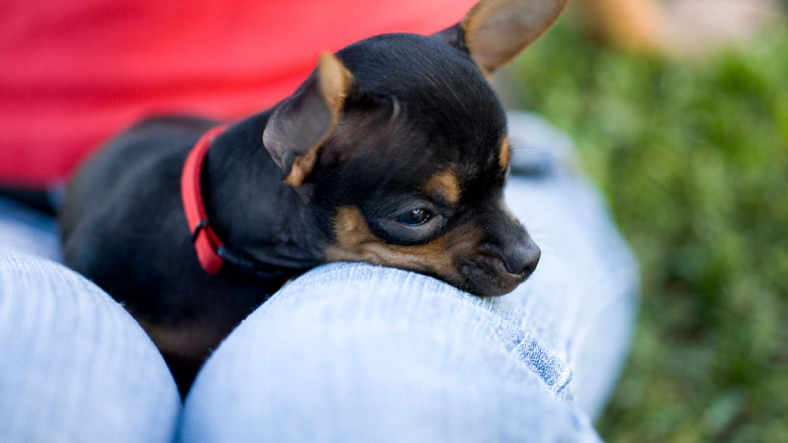 A black chihuahua in a woman's lap