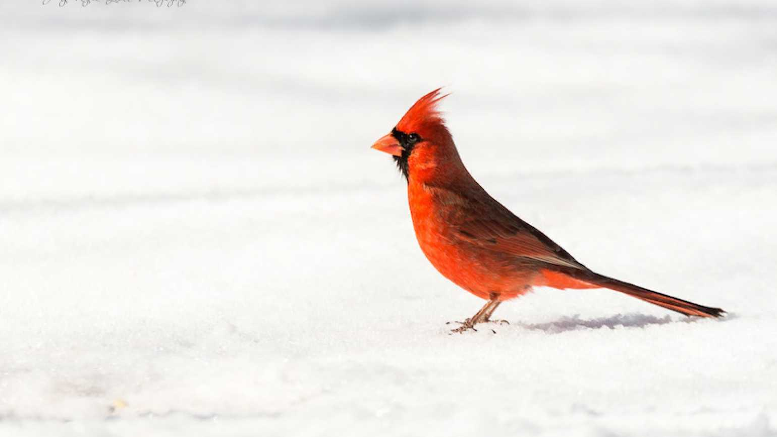 A cardinal in the snow. Photo by Judy Royal Glenn.