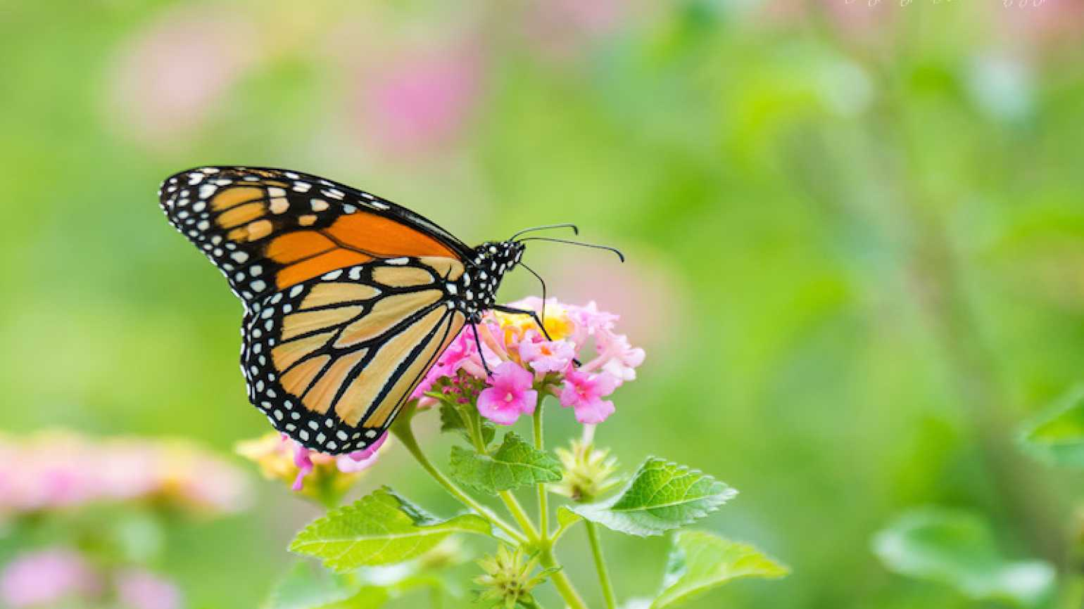 The miraculous Monarch butterfly. Photo by Judy Royal Glenn.