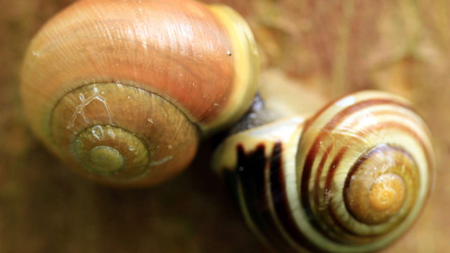 A pair of snail shells