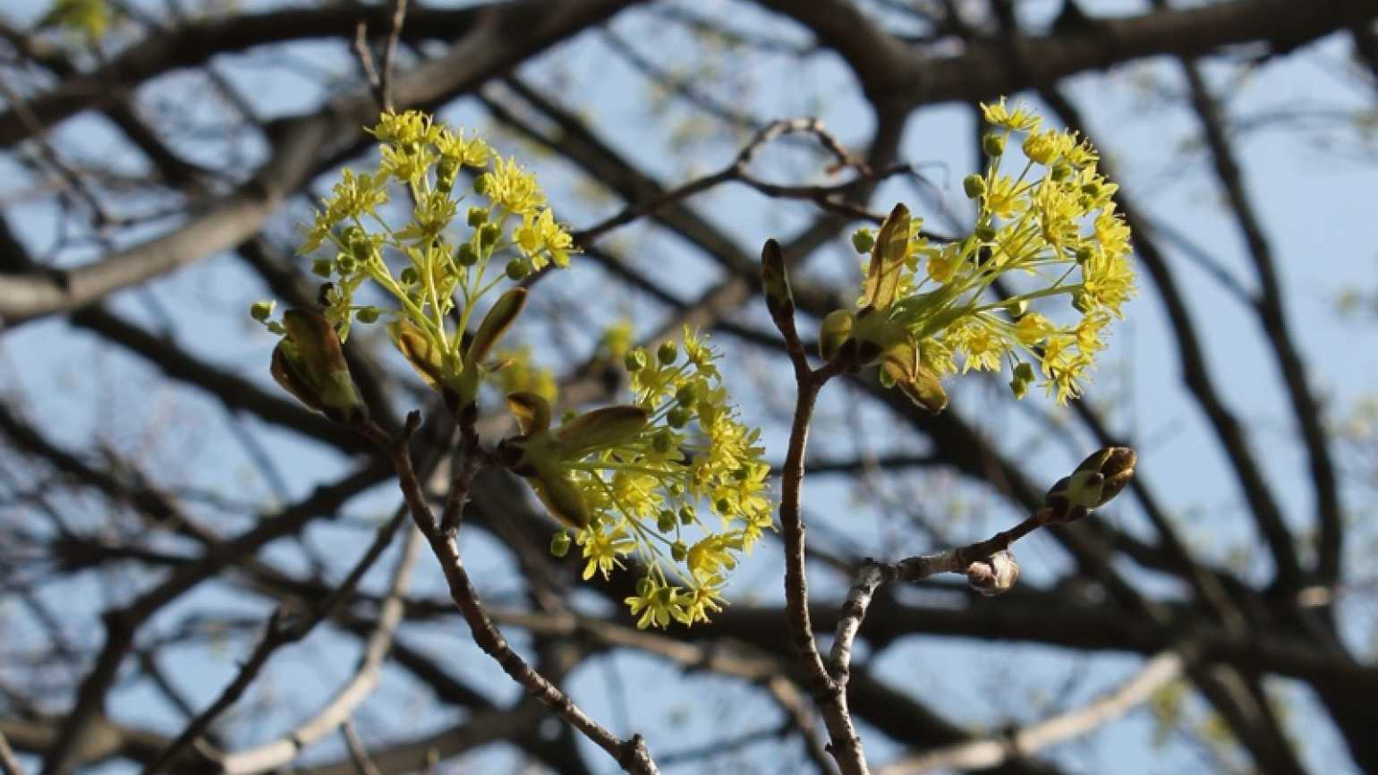 A maple tree branch showing the very first buds of spring