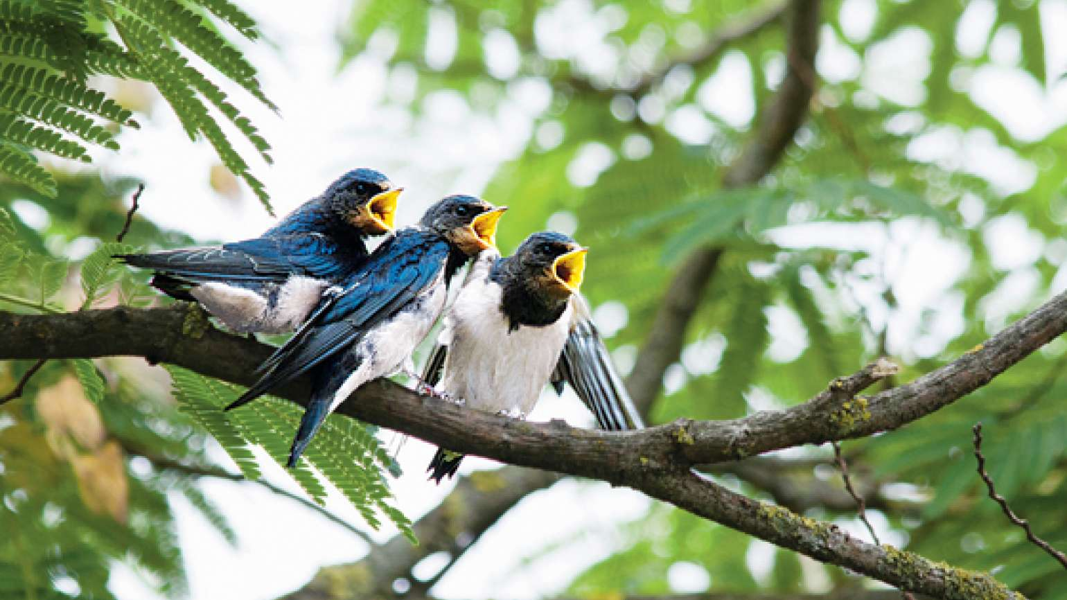 A trio of singing birds
