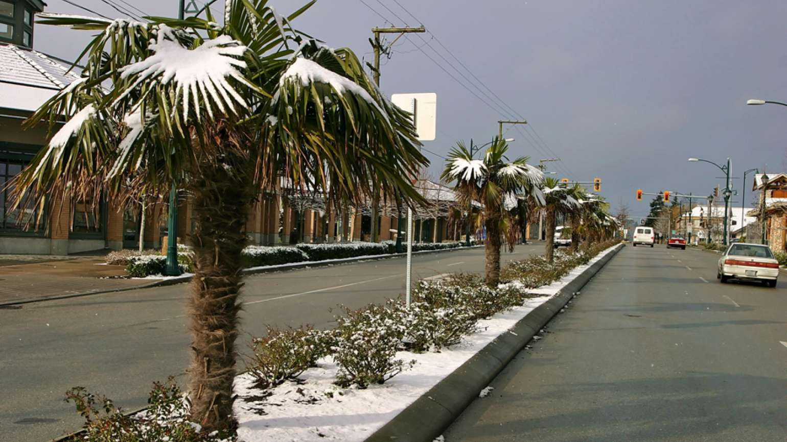 Palm trees covered with snow