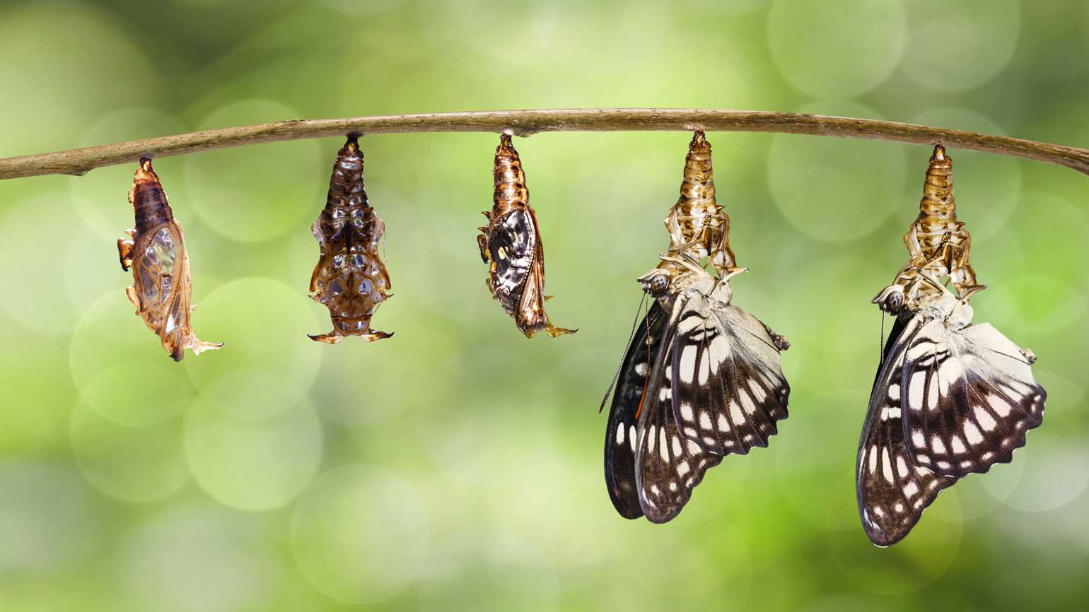 The stages of a caterpillar changing into a butterfly.