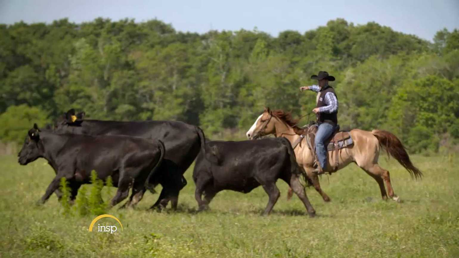 One of the cowboys wrangling a cow on their farm.
