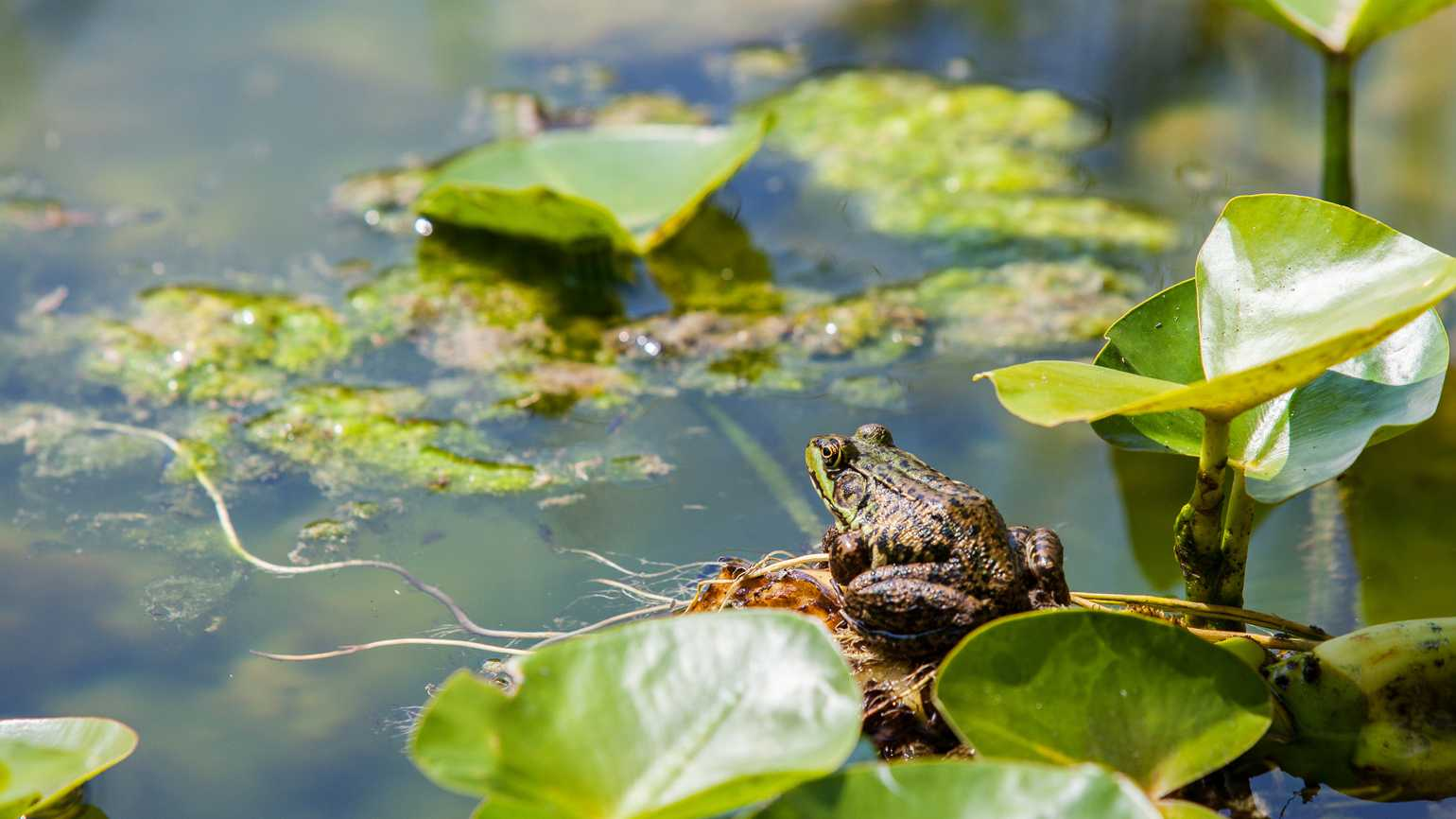 A frog on a lily pad in a pond.