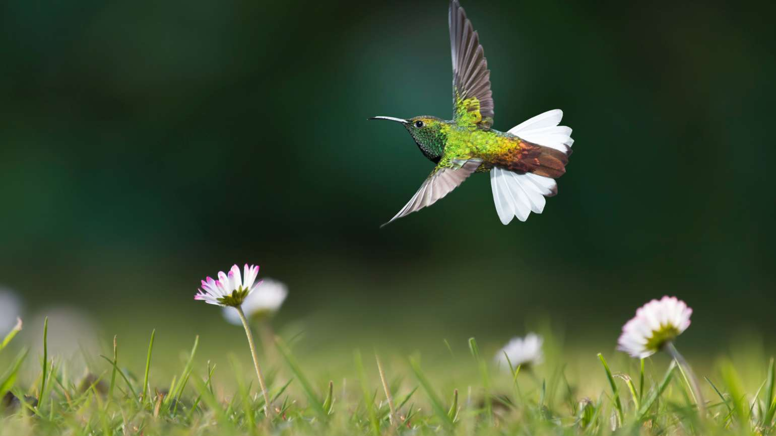 Hummingbird from Heaven
