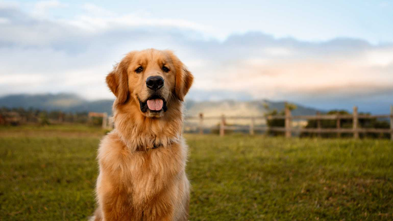 Portrait of a golden retriever sitting down in a beautiful farm