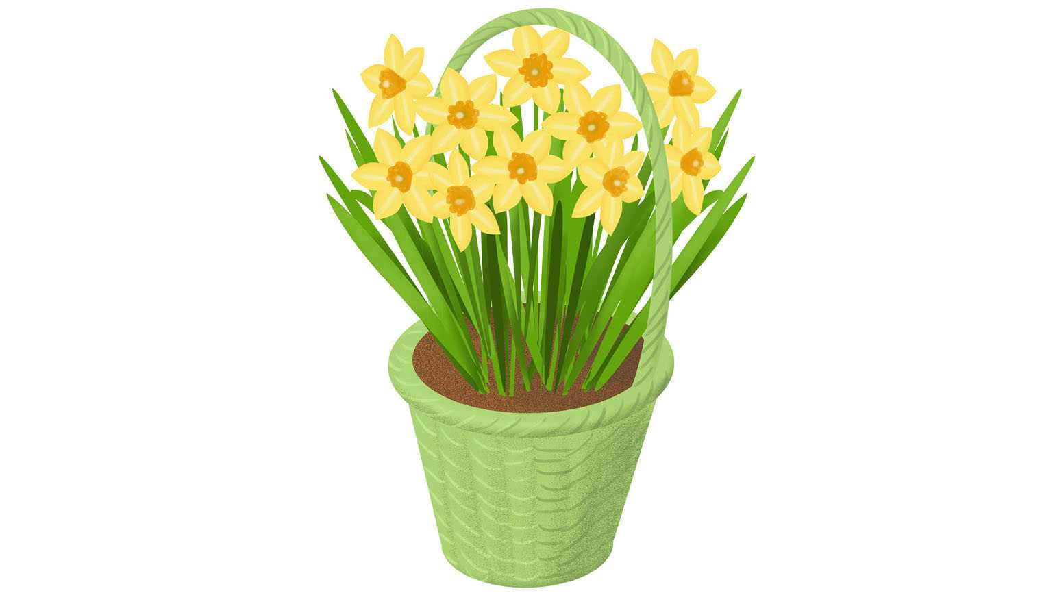 A green basket full of blooming daffodils.
