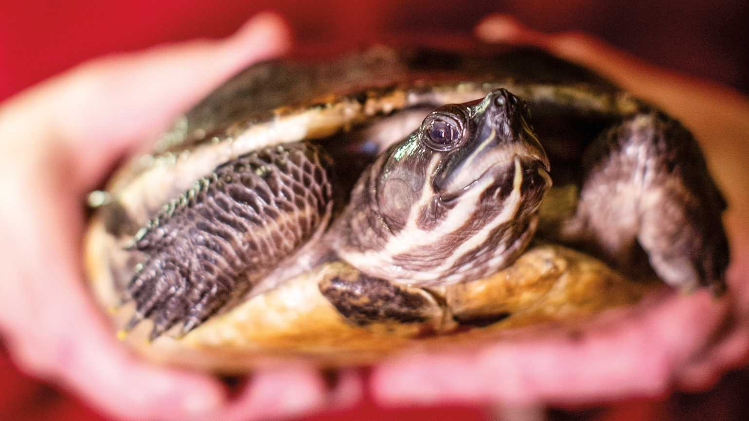 A close up of Diane the turtle.