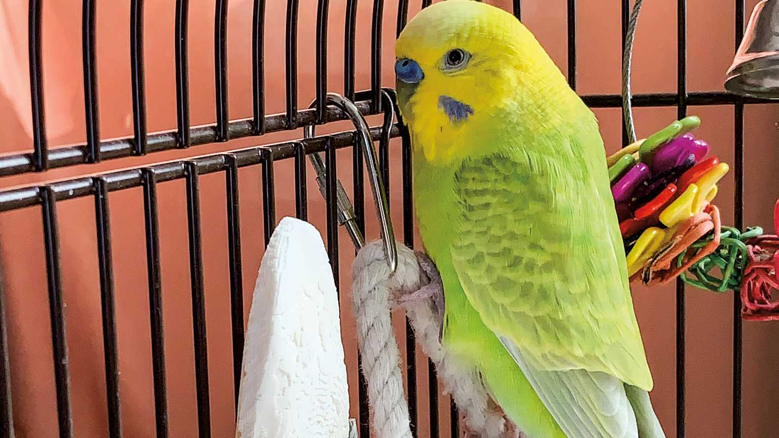 A small, green parakeet in a bird cage.