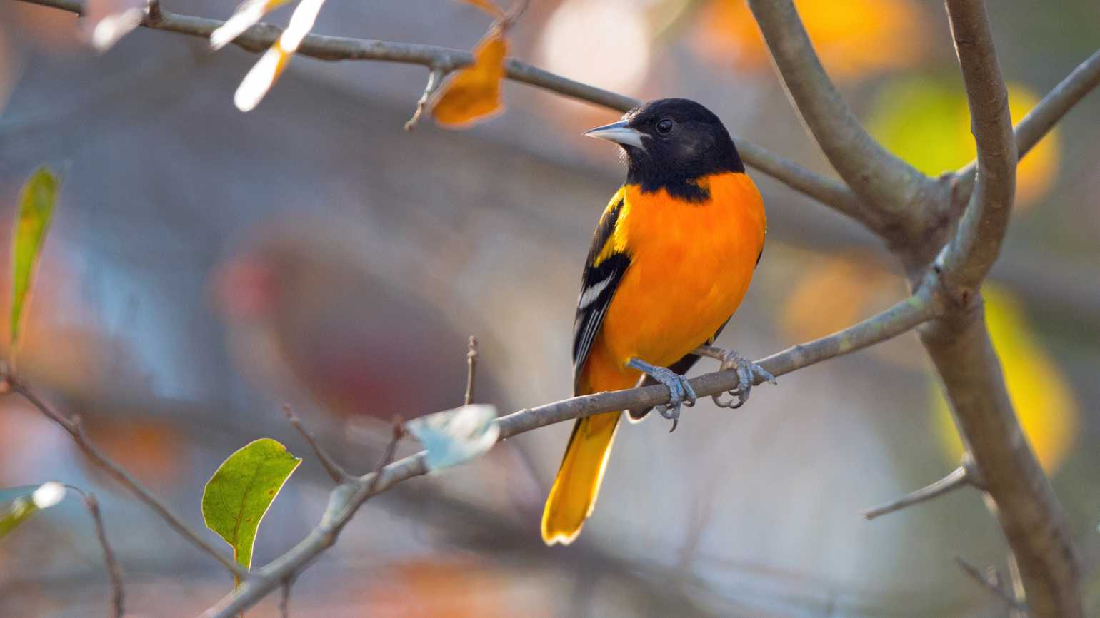 Baltimore Oriole perching in a tree in late fall.